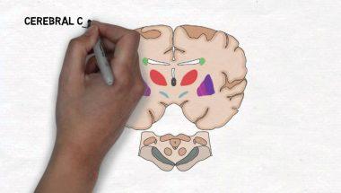 2-Minute Neuroscience: Basal Ganglia