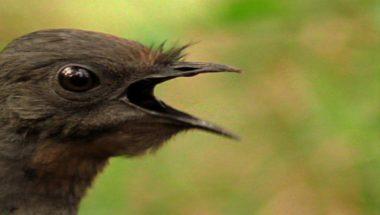 The amazing lyrebird