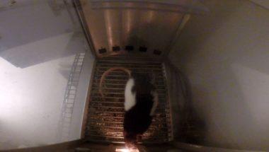 THC makes rats lazy