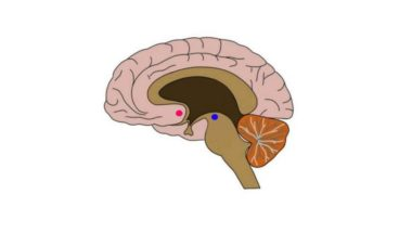 2-Minute Neuroscience: Nucleus Accumbens