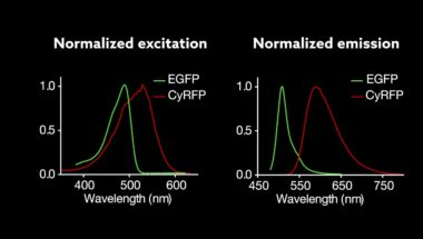 New red fluorescent proteins allow scientists to better 'see' what memories are made of