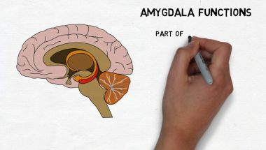 2-Minute Neuroscience: Amygdala