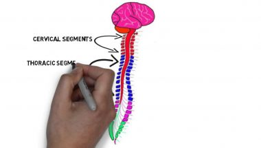 2-Minute Neuroscience: Exterior of the Spinal Cord