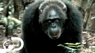 Most Brutal Chimpanzee Society Ever Discovered