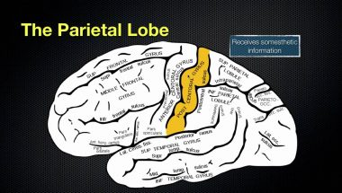 The Anatomy and Function of the Parietal Lobe