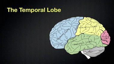 The Anatomy and Functions of the Occipital and Temporal Lobes