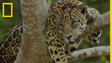 Ayahuasca: See How This Popular Drug Affects Jaguars in the Amazon