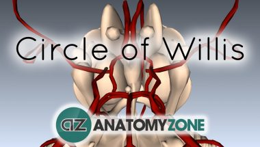 3D Anatomy Tutorial: Circle of Willis
