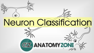 Neuroanatomy Basics: Types of Neurons by Structure