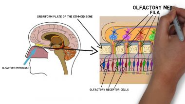 2-Minute Neuroscience: Olfactory Nerve (Cranial Nerve I)