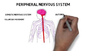 2-Minute Neuroscience: Divisions of the Nervous System