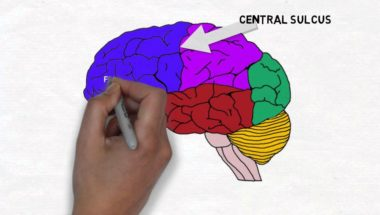2-Minute Neuroscience: Lobes and Landmarks of the Brain Surface (Lateral View)