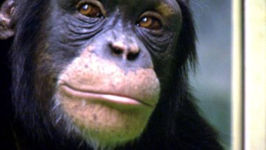 Human v Chimp: Memory test