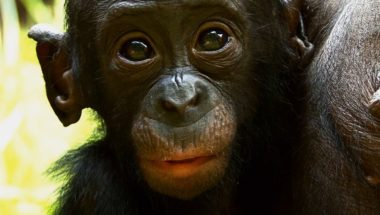 Things You Probably Didn't Know About Cute Bonobos