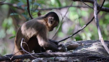 Monkeys have used stone tools for hundreds of years