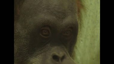 Apes show they can read people's minds