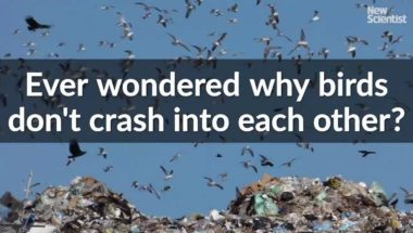 Ever wondered why birds don't crash into each other?
