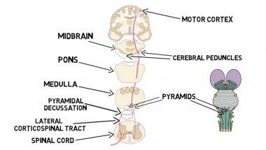 2-Minute Neuroscience: Corticospinal Tract