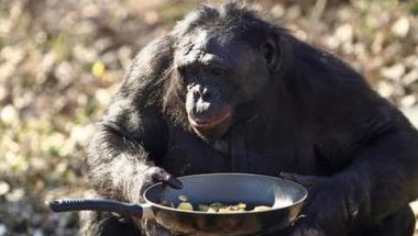 Ape Makes A Fire: Kanzi The Bonobo Makes A Campfire