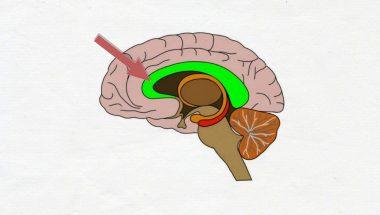 2-Minute Neuroscience: Corpus Callosum